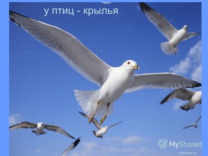 у птиц - крылья
