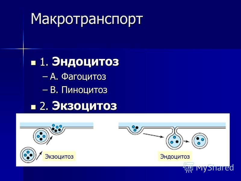 Макротранспорт 1. Эндоцитоз 1. Эндоцитоз –A. Фагоцитоз –B. Пиноцитоз 2. Экзоцитоз 2. Экзоцитоз Экзоцитоз Эндоцитоз