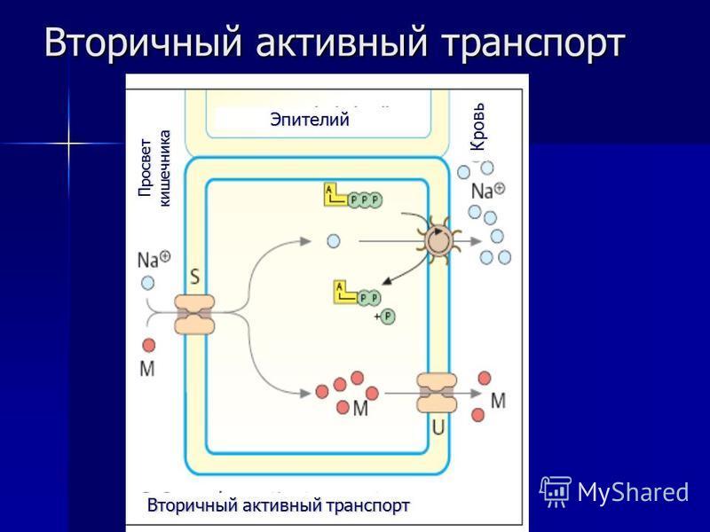 Вторичный активный транспорт Эпителий Просвет кишечника Кровь