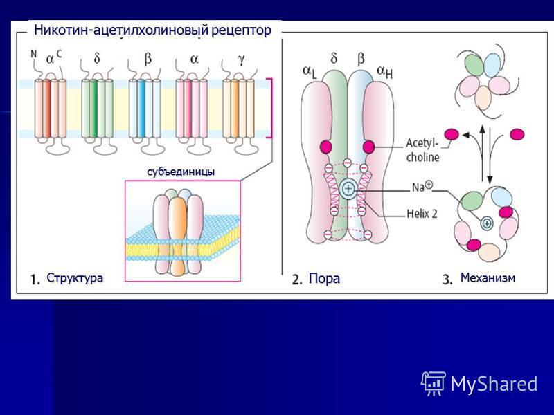 Никотин-ацетилхолиновый рецептор Структура ПораМеханизм субъединицы