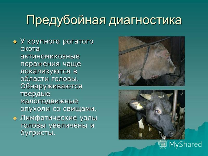 Предубойная диагностика У крупного рогатого скота актиномикозные поражения чаще локализуются в области головы. Обнаруживаются твердые малоподвижные опухоли со свищами. У крупного рогатого скота актиномикозные поражения чаще локализуются в области гол