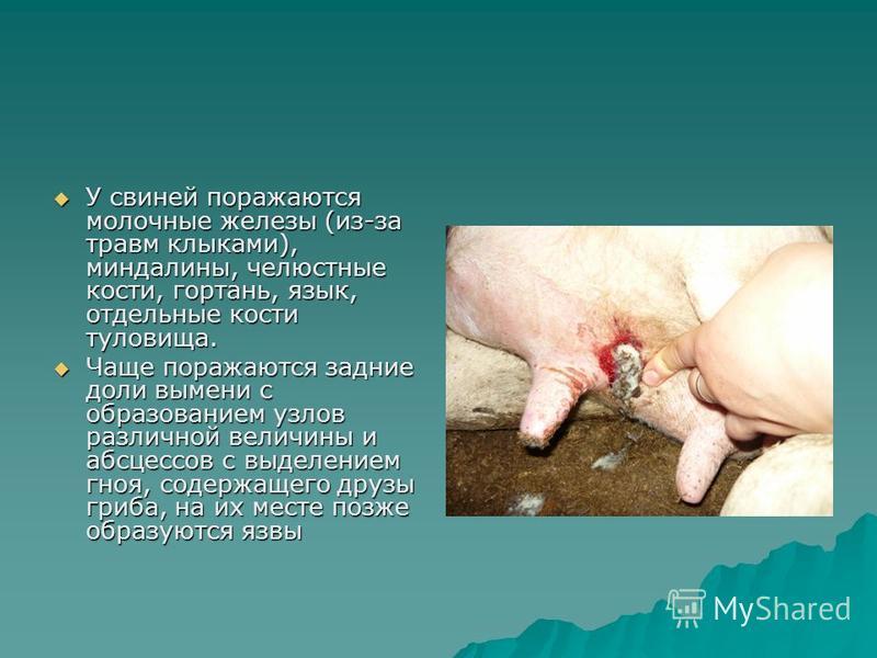 У свиней поражаются молочные железы (из-за травм клыками), миндалины, челюстные кости, гортань, язык, отдельные кости туловища. У свиней поражаются молочные железы (из-за травм клыками), миндалины, челюстные кости, гортань, язык, отдельные кости туло