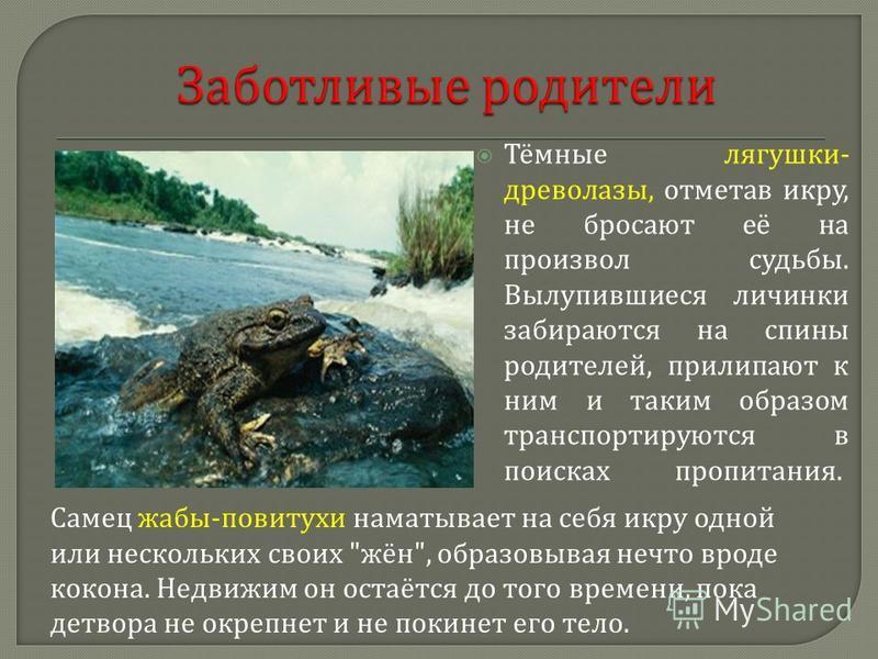 Тёмные лягушки - древолазы, отметав икру, не бросают её на произвол судьбы. Вылупившиеся личинки забираются на спины родителей, прилипают к ним и таким образом транспортируются в поисках пропитания. Самец жабы - повитухи наматывает на себя икру одной