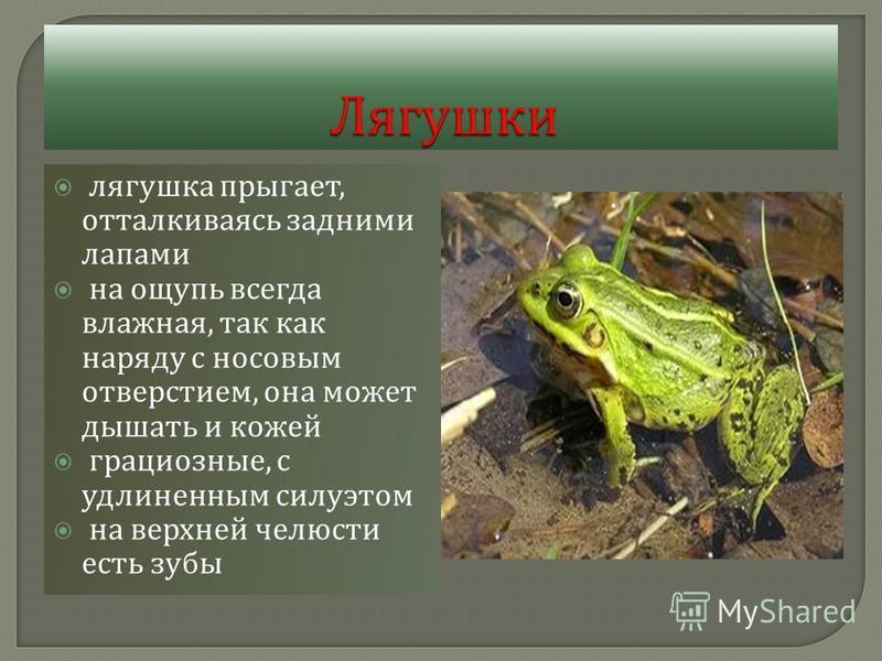 лягушка прыгает, отталкиваясь задними лапами на ощупь всегда влажная, так как наряду с носовым отверстием, она может дышать и кожей грациозные, с удлиненным силуэтом на верхней челюсти есть зубы