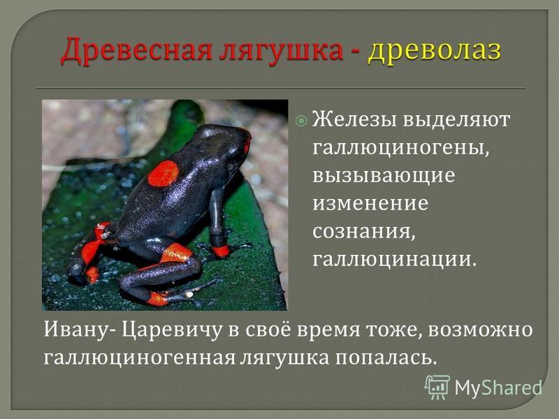 Железы выделяют галлюциногены, вызывающие изменение сознания, галлюцинации. Ивану - Царевичу в своё время тоже, возможно галлюциногенная лягушка попалась.