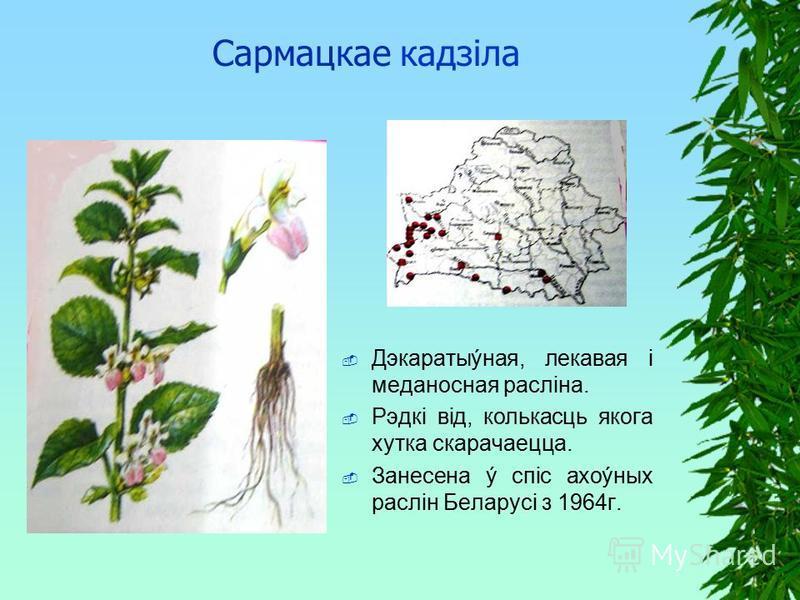 Сармацкае кадзiла Дэкаратыýная, лекавая i меданосная раслiна. Рэдкi вiд, колькасць якога хутка скарачаецца. Занесена ý спiс ахоýных раслiн Беларусi з 1964г.