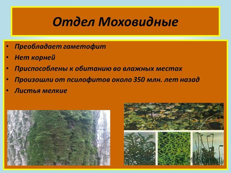 Отдел Моховидные Преобладает гаметофит Нет корней Приспособлены к обитанию во влажных местах Произошли от псилофитов около 350 млн. лет назад Листья мелкие
