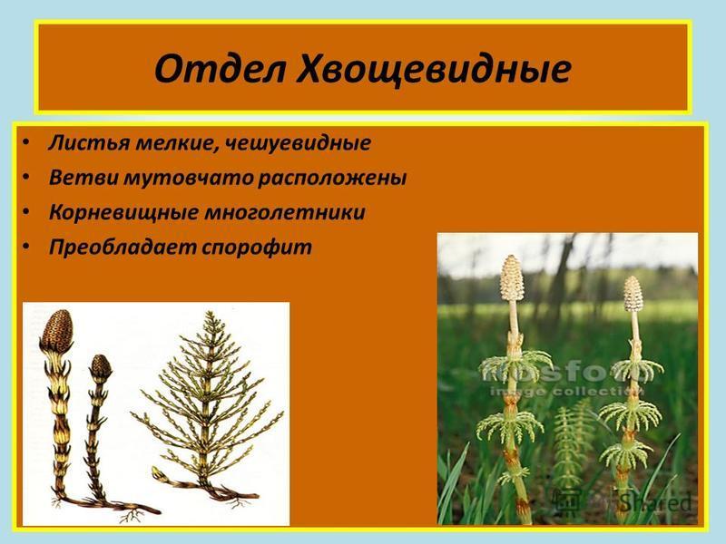 Отдел Хвощевидные Листья мелкие, чешуевидные Ветви мутовчато расположены Корневищные многолетники Преобладает спорофит