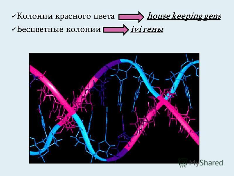 Колонии красного цвета house keeping gens Бесцветные колонии ivi гены