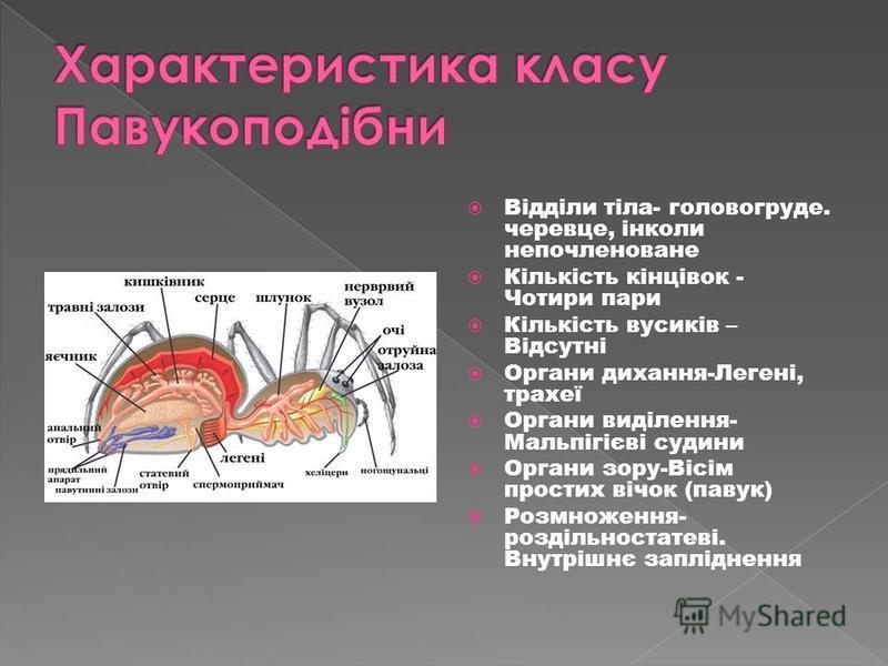 Відділи тіла- головогруде. черевце, інколи непочленоване Кількість кінцівок - Чотири пари Кількість вусиків – Відсутні Органи дихання-Легені, трахеї Органи виділення- Мальпігієві судини Органи зору-Вісім простих вічок (павук) Розмноження- роздільност