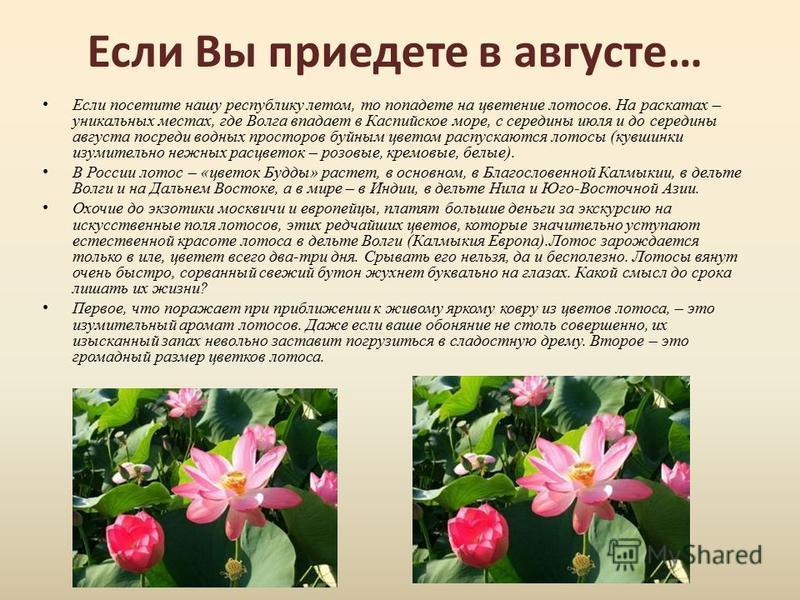 Если Вы приедете в августе… Если посетите нашу республику летом, то попадете на цветение лотосов. На раскатах – уникальных местах, где Волга впадает в Каспийское море, с середины июля и до середины августа посреди водных просторов буйным цветом распу