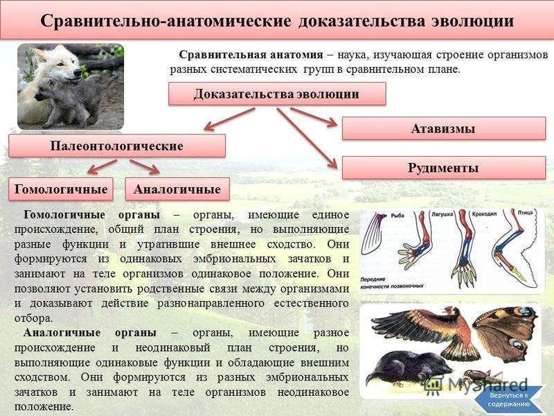 Сравнительно-анатомические доказательства эволюции Сравнительная анатомия – наука, изучающая строение организмов разных систематических групп в сравнительном плане. Доказательства эволюции Атавизмы Гомологичные Рудименты Аналогичные Гомологичные орга