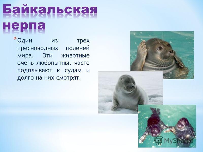 * Один из трех пресноводных тюленей мира. Эти животные очень любопытны, часто подплывают к судам и долго на них смотрят.