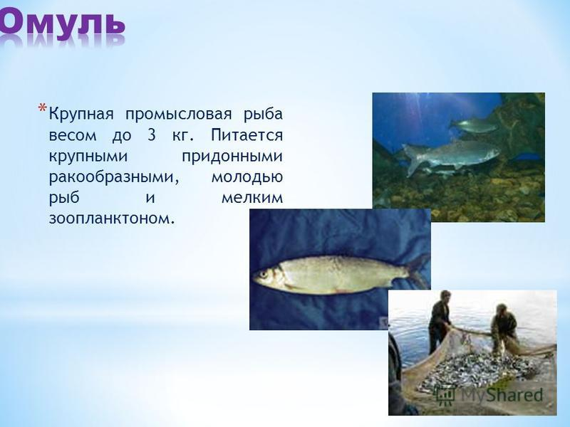 * Крупная промысловая рыба весом до 3 кг. Питается крупными придонными ракообразными, молодью рыб и мелким зоопланктоном.