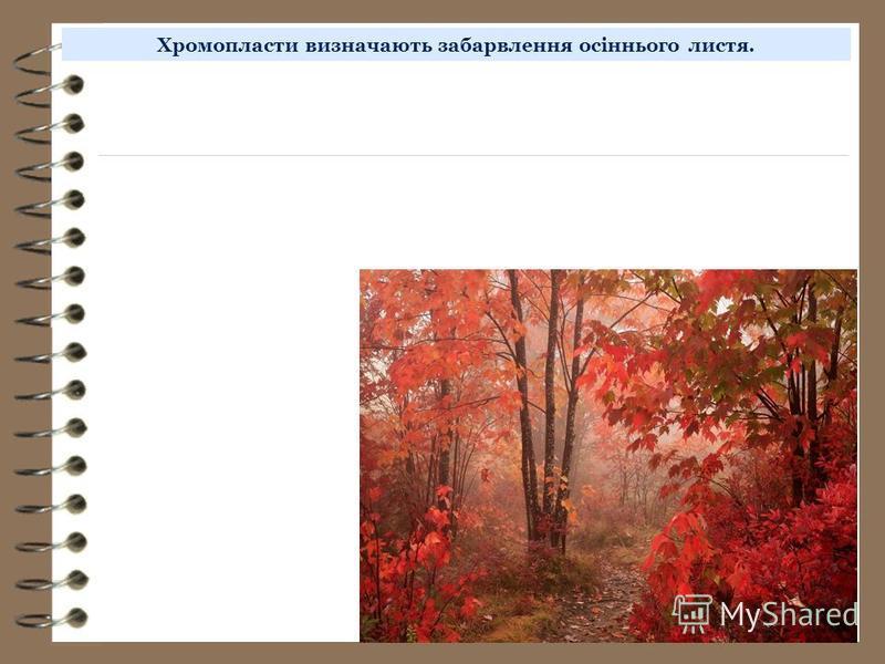 Хромопласти визначають забарвлення осіннього листя.