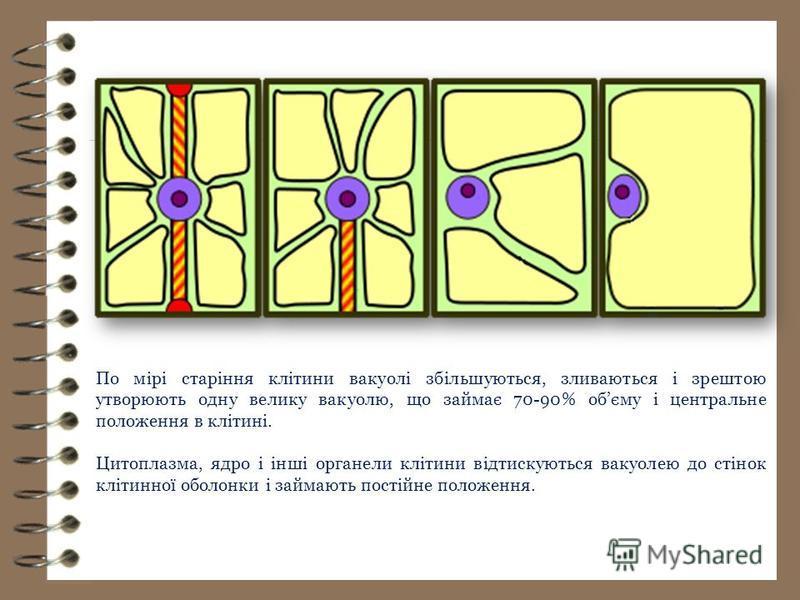 По мірі старіння клітини вакуолі збільшуються, зливаються і зрештою утворюють одну велику вакуолю, що займає 70-90% обєму і центральне положення в клітині. Цитоплазма, ядро і інші органели клітини відтискуються вакуолею до стінок клітинної оболонки і