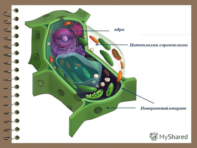 Поверхневий апарат ядро Цитоплазма з органелами