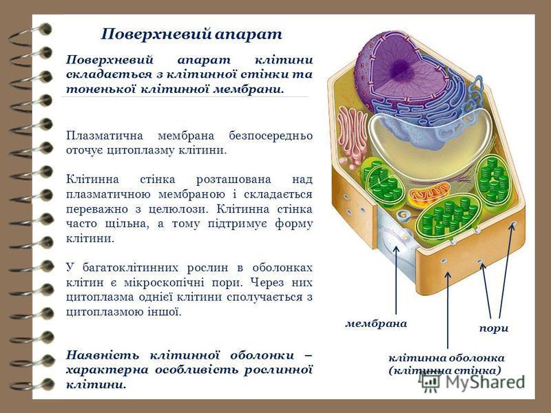 мембрана клітинна оболонка (клітинна стінка) пори Поверхневий апарат Плазматична мембрана безпосередньо оточує цитоплазму клітини. Клітинна стінка розташована над плазматичною мембраною і складається переважно з целюлози. Клітинна стінка часто щільна