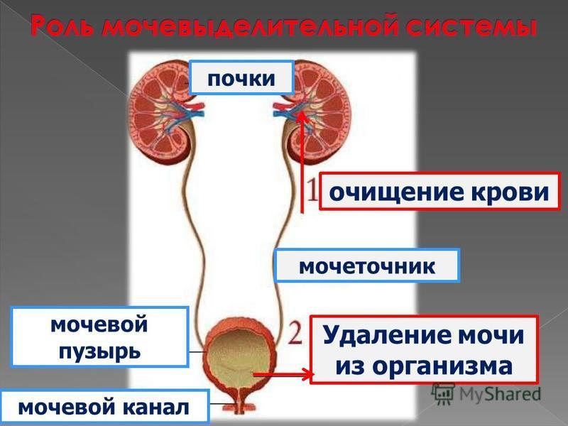 очищение крови почки мочеточник Удаление мочи из организма мочевой пузырь мочевой канал