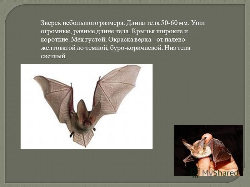 Зверек небольшого размера. Длина тела 50-60 мм. Уши огромные, равные длине тела. Крылья широкие и короткие. Мех густой. Окраска верха - от палево- желтоватой до темной, буро-коричневой. Низ тела светлый.