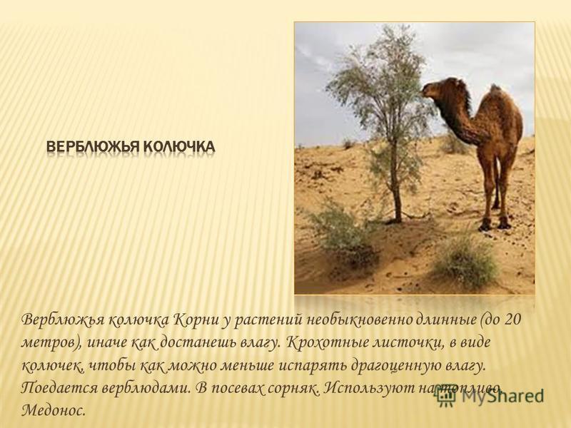 ДЖУЗГУН (жузгун), род кустарников семейства гречишных. Около 80 видов, в пустынях и степях Азии. Многие джузгуны пескоукрепители; служат кормом верблюдам и овцам. Цветение джузгуна