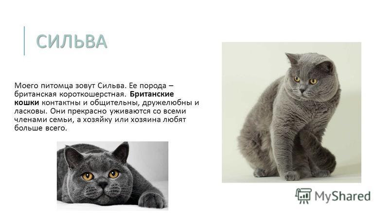 СИЛЬВА Моего питомца зовут Сильва. Ее порода – британская короткошерстная. Британские кошки контактны и общительны, дружелюбны и ласковы. Они прекрасно уживаются со всеми членами семьи, а хозяйку или хозяина любят больше всего.