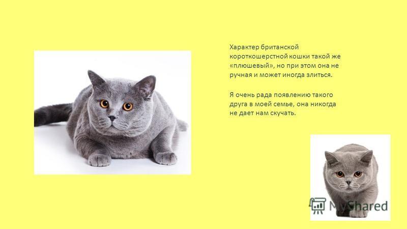 Характер британской короткошерстной кошки такой же « плюшевый », но при этом она не ручная и может иногда злиться. Я очень рада появлению такого друга в моей семье, она никогда не дает нам скучать.