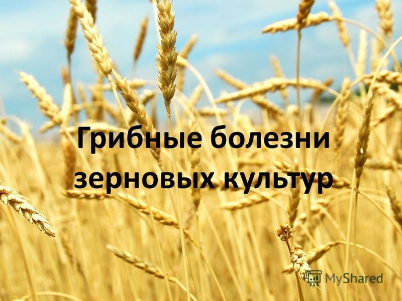 Грибные болезни зерновых культур