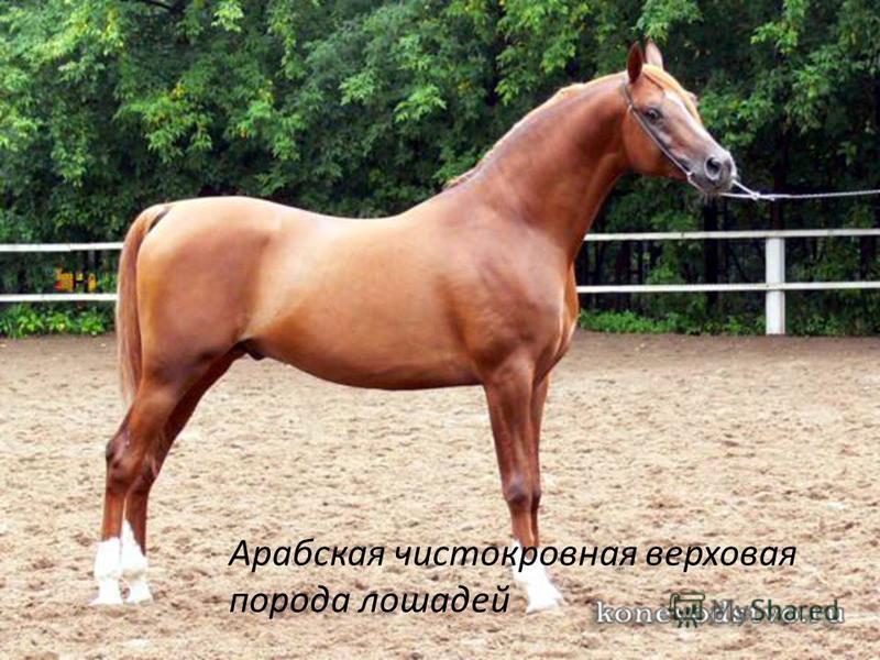 Арабская чистокровная верховая порода лошадей