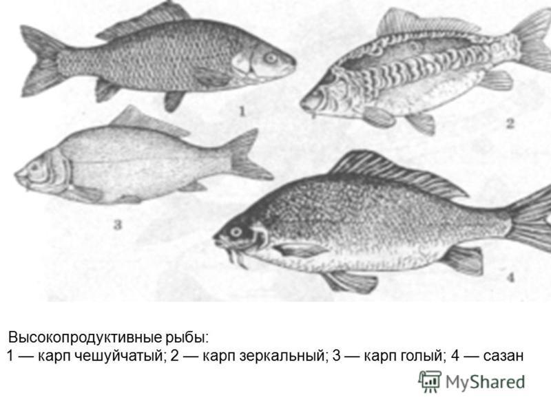 Высокопродуктивные рыбы: 1 карп чешуйчатый; 2 карп зеркальный; 3 карп голый; 4 сазан