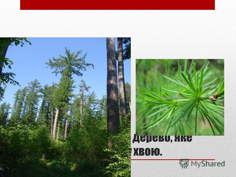 МОДРИНА – це хвойне дерево, яке на зиму скидає мяку хвою.