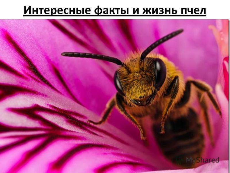 Интересные факты и жизнь пчел