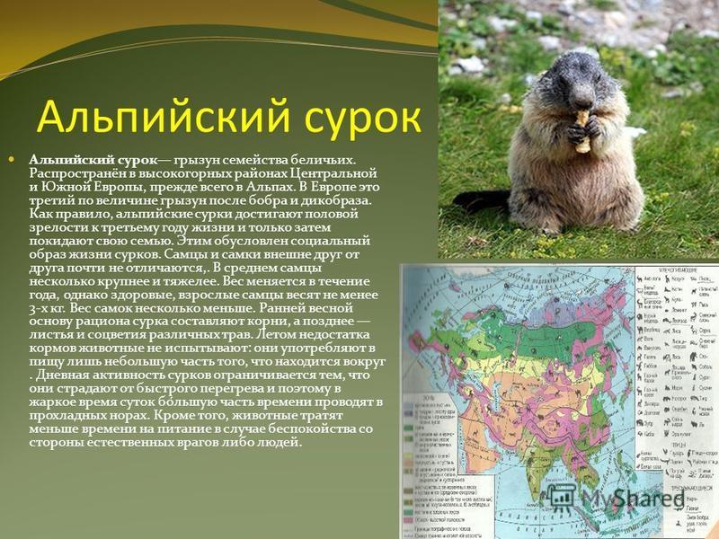 Альпийский сурок Альпийский сурок грызун семейства беличьих. Распространён в высокогорных районах Центральной и Южной Европы, прежде всего в Альпах. В Европе это третий по величине грызун после бобра и дикобраза. Как правило, альпийские сурки достига