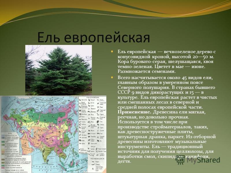 Ель европейская Ель европейская вечнозеленое дерево с конусовидной кроной, высотой 2050 м. Кора буровато-серая, шелушащаяся, хвоя темно-зеленая. Цветет в мае июне. Размножается семенами. Всего насчитывается около 45 видов ели, главным образом в умере