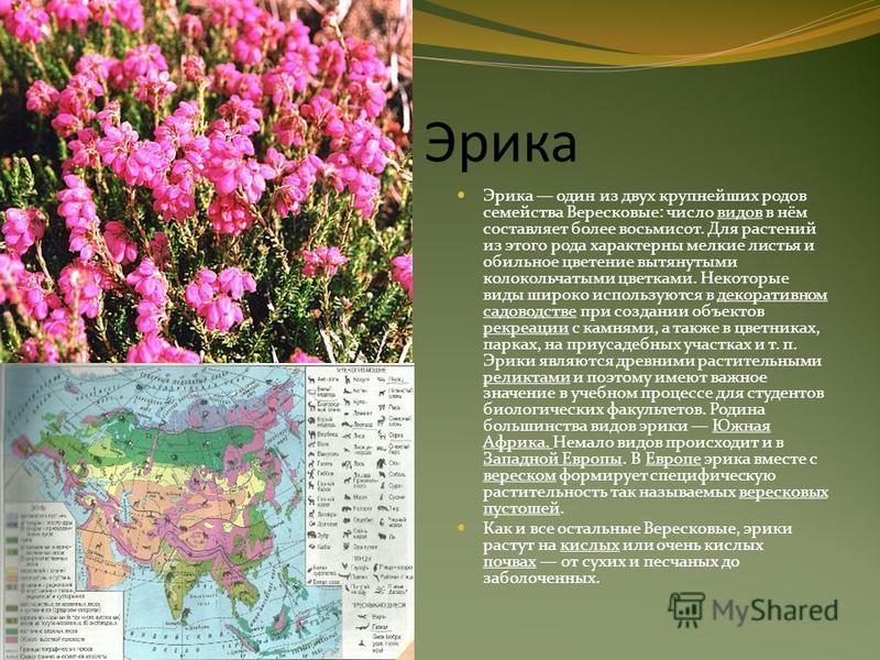 Эрика Эрика один из двух крупнейших родов семейства Вересковые: число видов в нём составляет более восьмисот. Для растений из этого рода характерны мелкие листья и обильное цветение вытянутыми колокольчатыми цветками. Некоторые виды широко используют