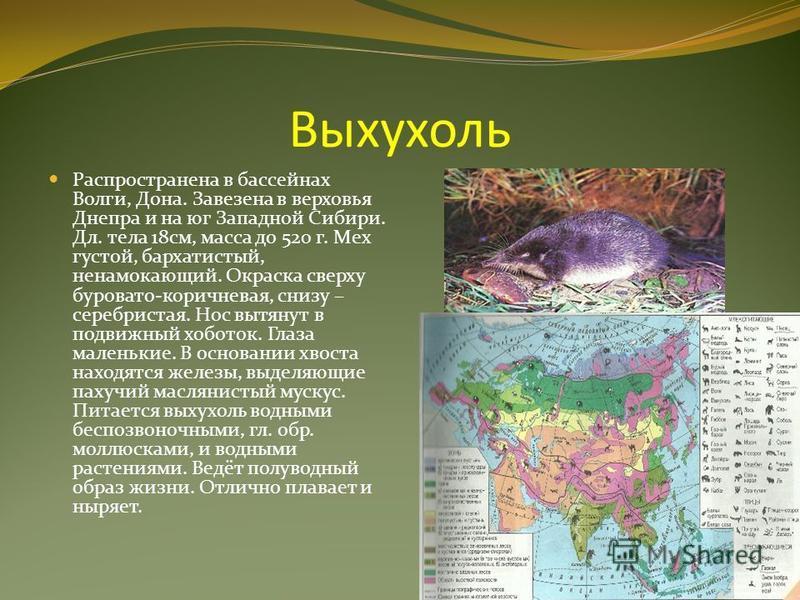 Выхухоль Распространена в бассейнах Волги, Дона. Завезена в верховья Днепра и на юг Западной Сибири. Дл. тела 18 см, масса до 520 г. Мех густой, бархатистый, ненамокающий. Окраска сверху буровато-коричневая, снизу – серебристая. Нос вытянут в подвижн