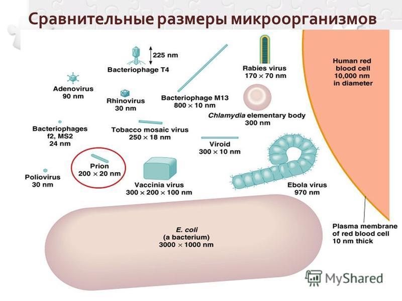 Сравнительные размеры микроорганизмов