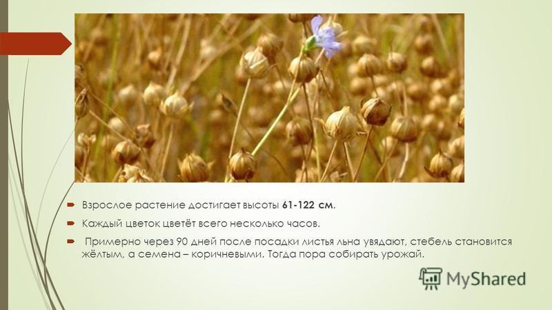 Взрослое растение достигает высоты 61-122 см. Каждый цветок цветёт всего несколько часов. Примерно через 90 дней после посадки листья льна увядают, стебель становится жёлтым, а семена – коричневыми. Тогда пора собирать урожай.