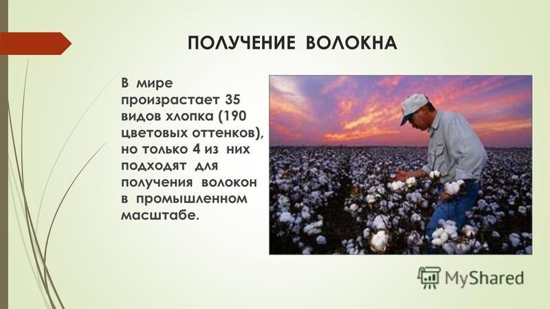 ПОЛУЧЕНИЕ ВОЛОКНА В мире произрастает 35 видов хлопка (190 цветовых оттенков), но только 4 из них подходят для получения волокон в промышленном масштабе.