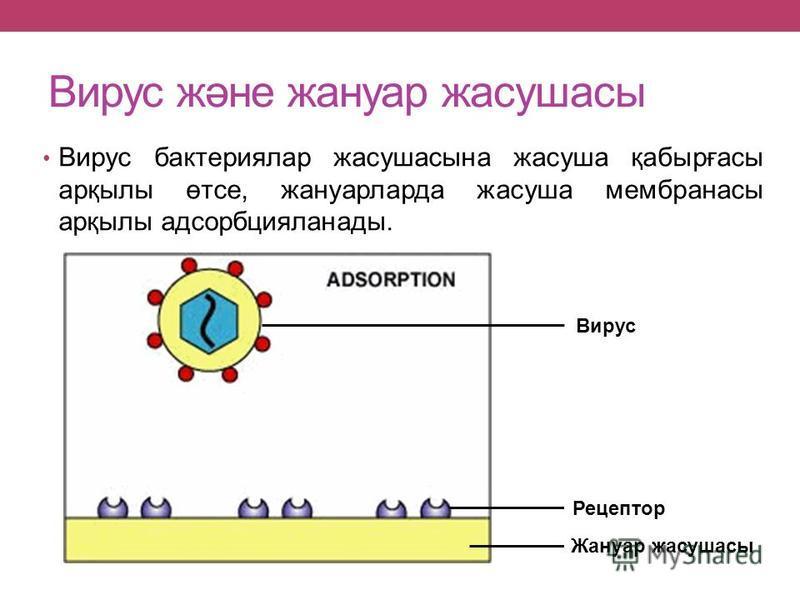 Вирус және жануар жасушасы Вирус бактериялар жасушасына жасуша қабырғасы арқылы өтсе, жануарларда жасуша мембранасы арқылы адсорбцияланады. Жануар жасушасы Рецептор Вирус