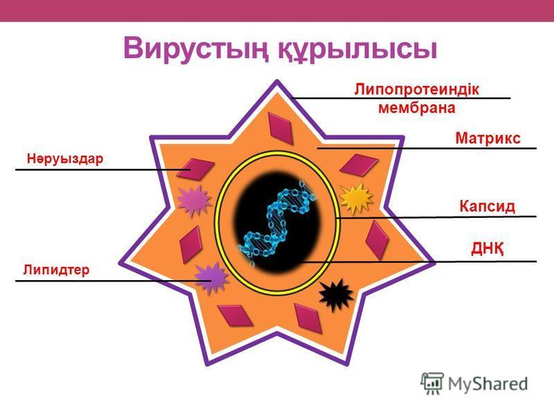 Вирустың құрылысы Липопротеиндік мембрана Матрикс Капсид ДНҚ Нәруыздар Липидтер