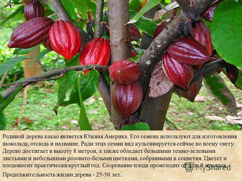 Родиной дерева какао является Южная Америка. Его семена используют для изготовления шоколада, отсюда и название. Ради этих семян вид культивируется сейчас по всему свету. Дерево достигает в высоту 8 метров, а также обладает большими темно-зелеными ли