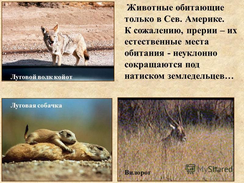 Животные обитающие только в Сев. Америке. К сожалению, прерии – их естественные места обитания - неуклонно сокращаются под натиском земледельцев… Луговой волк койот Луговая собачка Вилорог