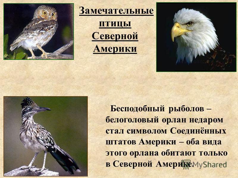 Замечательные птицы Северной Америки Бесподобный рыболов – белоголовый орлан недаром стал символом Соединённых штатов Америки – оба вида этого орлана обитают только в Северной Америке.