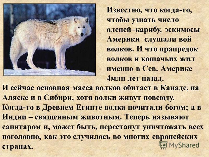 Известно, что когда-то, чтобы узнать число оленей–карибу, эскимосы Америки слушали вой волков. И что прапредок волков и кошачьих жил именно в Сев. Америке 4 млн лет назад. И сейчас основная масса волков обитает в Канаде, на Аляске и в Сибири, хотя во