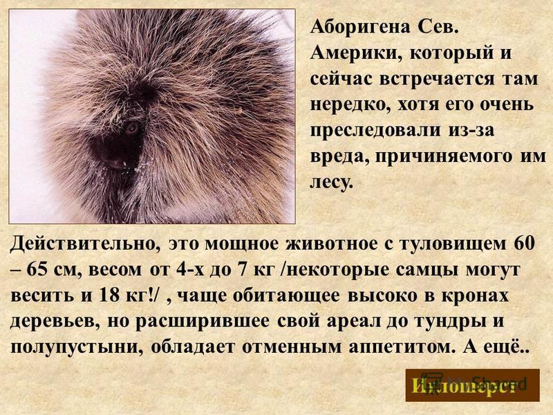 Иглошерст Аборигена Сев. Америки, который и сейчас встречается там нередко, хотя его очень преследовали из-за вреда, причиняемого им лесу. Действительно, это мощное животное с туловищем 60 – 65 см, весом от 4-х до 7 кг /некоторые самцы могут весить и