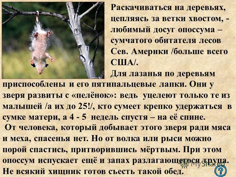 Раскачиваться на деревьях, цепляясь за ветки хвостом, - любимый досуг опоссума – сумчатого обитателя лесов Сев. Америки /больше всего США/. Для лазанья по деревьям приспособлены и его пятипальцевые лапки. Они у зверя развиты с «пелёнок»: ведь уцелеют