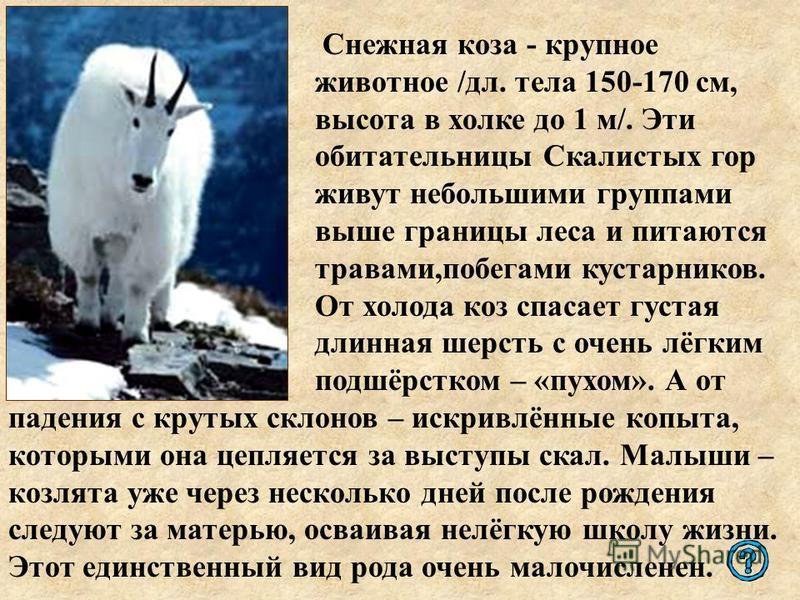 Снежная коза - крупное животное /дл. тела 150-170 см, высота в холке до 1 м/. Эти обитательницы Скалистых гор живут небольшими группами выше границы леса и питаются травами,побегами кустарников. От холода коз спасает густая длинная шерсть с очень лёг