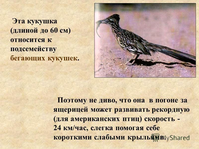 Поэтому не диво, что она в погоне за ящерицей может развивать рекордную (для американских птиц) скорость - 24 км/час, слегка помогая себе короткими слабыми крыльями. Эта кукушка (длиной до 60 см) относится к подсемейству бегающих кукушек.