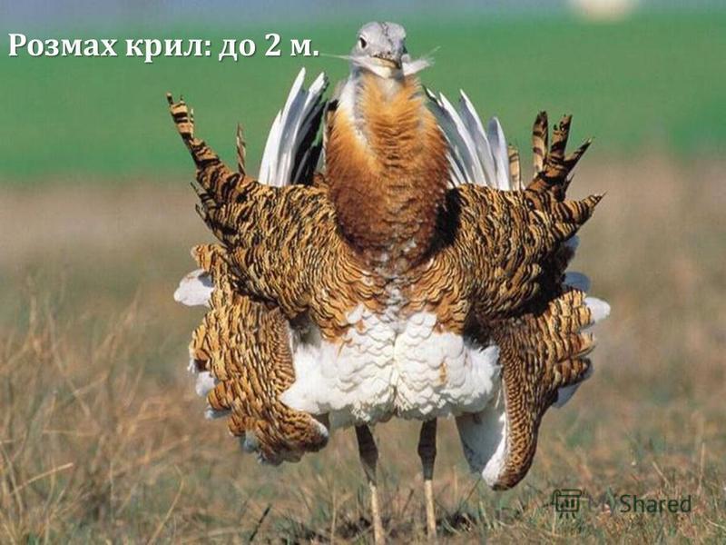 Розмах крил: до 2 м.
